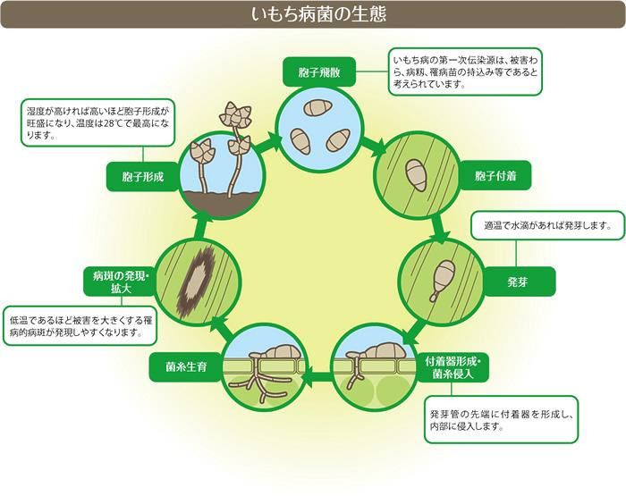 いもち病菌の生態