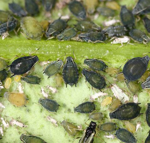 アブラムシ類 | 農業害虫や病害...