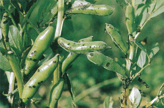 ascochyta blight thesis Resistance in chickpea germplasm against ascochyta blight 1847 porta-puglia, a, p crino and c mosconi 1996 variability in.