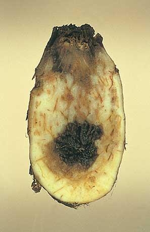 サトイモ乾腐病 | 農業害虫や病...