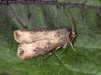 ネキリムシ類(カブラヤガ・タマナヤガ)