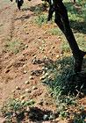 果樹カメムシ類