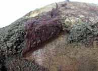 紫紋羽病(むらさきもんぱびょう)