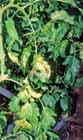 トマトすすかび病