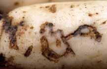 キスジノミハムシ(キスジトビハムシ)
