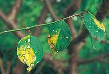 環紋葉枯病