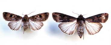 ネキリムシ類