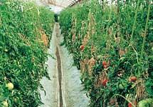 トマト根腐萎凋病