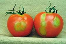 トマトモザイク病
