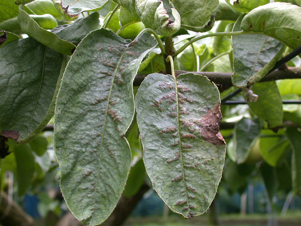 銀葉病 | 農業害虫や病害の防除・農薬情報|病害虫・雑草の情報基地 ...