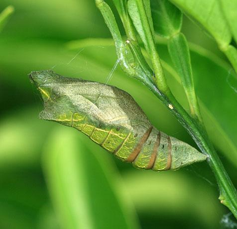 キアゲハ 蛹 期間