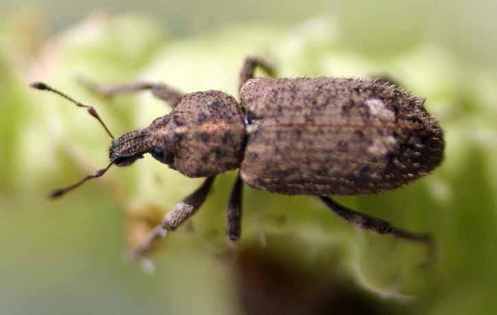 幼虫 ゾウムシ