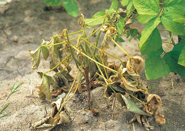 ダイズ茎疫病 | 農業害虫や病害の防除・農薬情報|病害虫・雑草の情報 ...