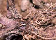 コガネムシ類
