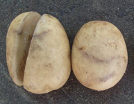 塊茎褐色輪紋病(かいけいかっしょくりんもんびょう)