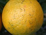 ボルドー液・無機銅剤の薬害