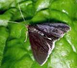 ヘリジロカラスニセノメイガ