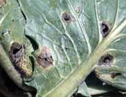 キャベツ、カブ黒斑病