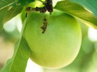 リンゴコカクモンハマキ