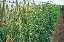 トマト褐色根腐病