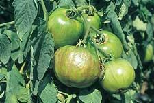 トマト黄化えそ病
