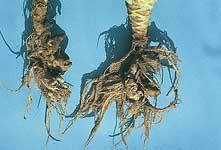 アブラナ科類根こぶ病
