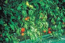 トマト葉かび病