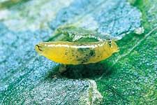 ハモグリバエ類