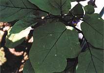 ナス褐色円星病