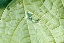 キュウリ斑点細菌病