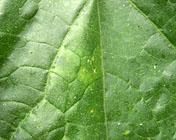 メロン退緑黄化病・メロン黄化病